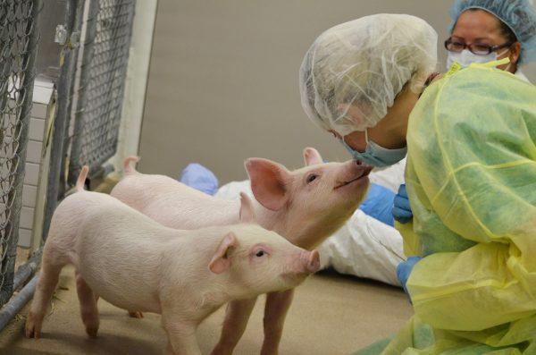 Pig playtime