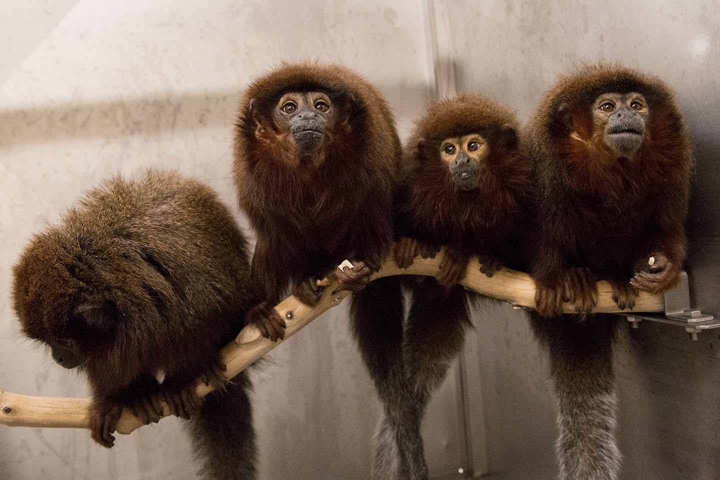 Titi Monkeys Come See Our World