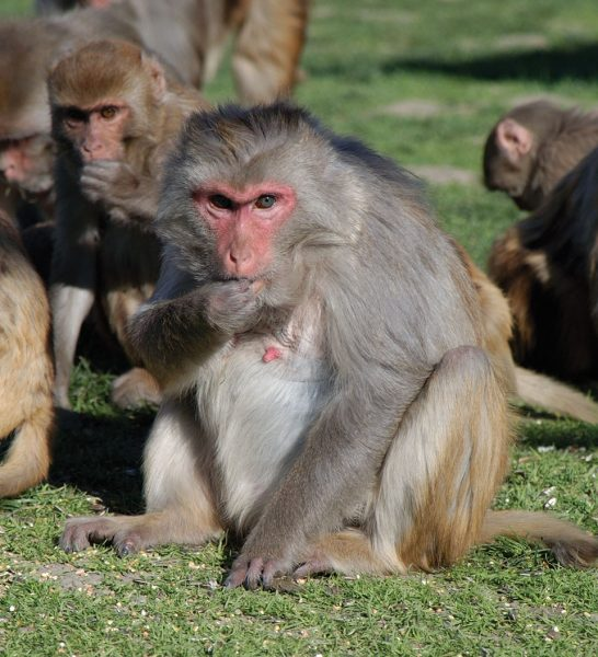 Colony of rhesus macaques