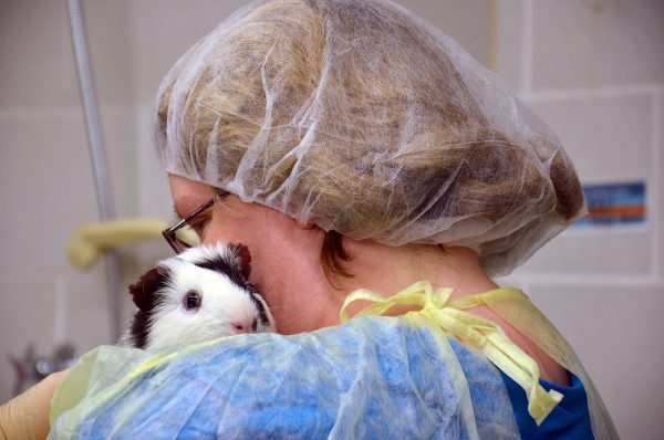 Guinea pig with caretaker