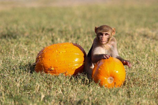Monkey with Halloween pumpkins