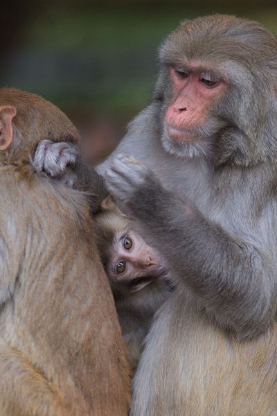 Rhesus monkey with baby grooming another monkey
