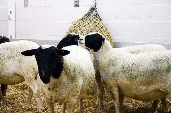 Group housed sheep