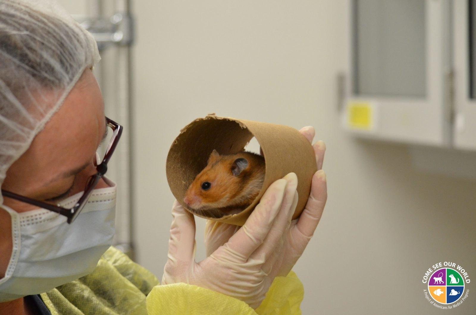 Golden Syrian Hamster In A Tube