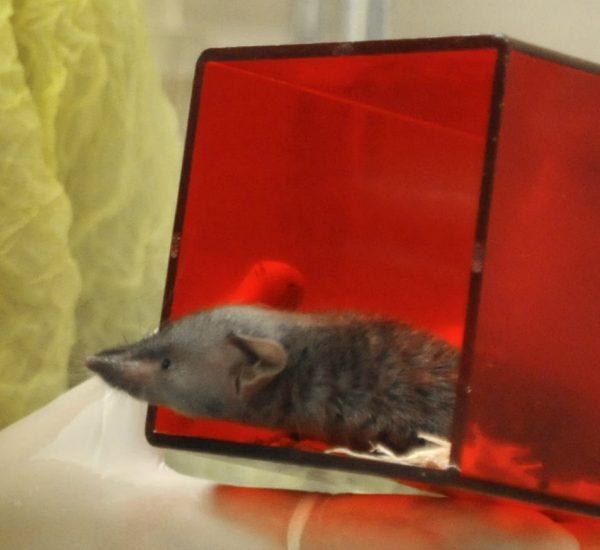 Japanese shrew