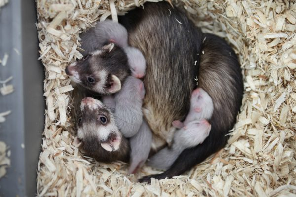 Research Ferrets Co-nursing a Litter