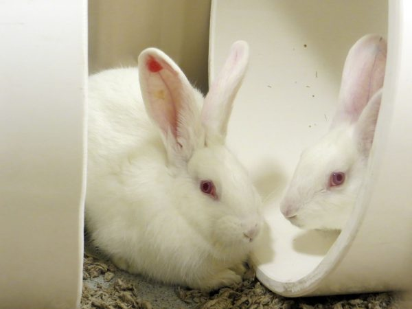 Socially Housed Rabbits in Tunnels