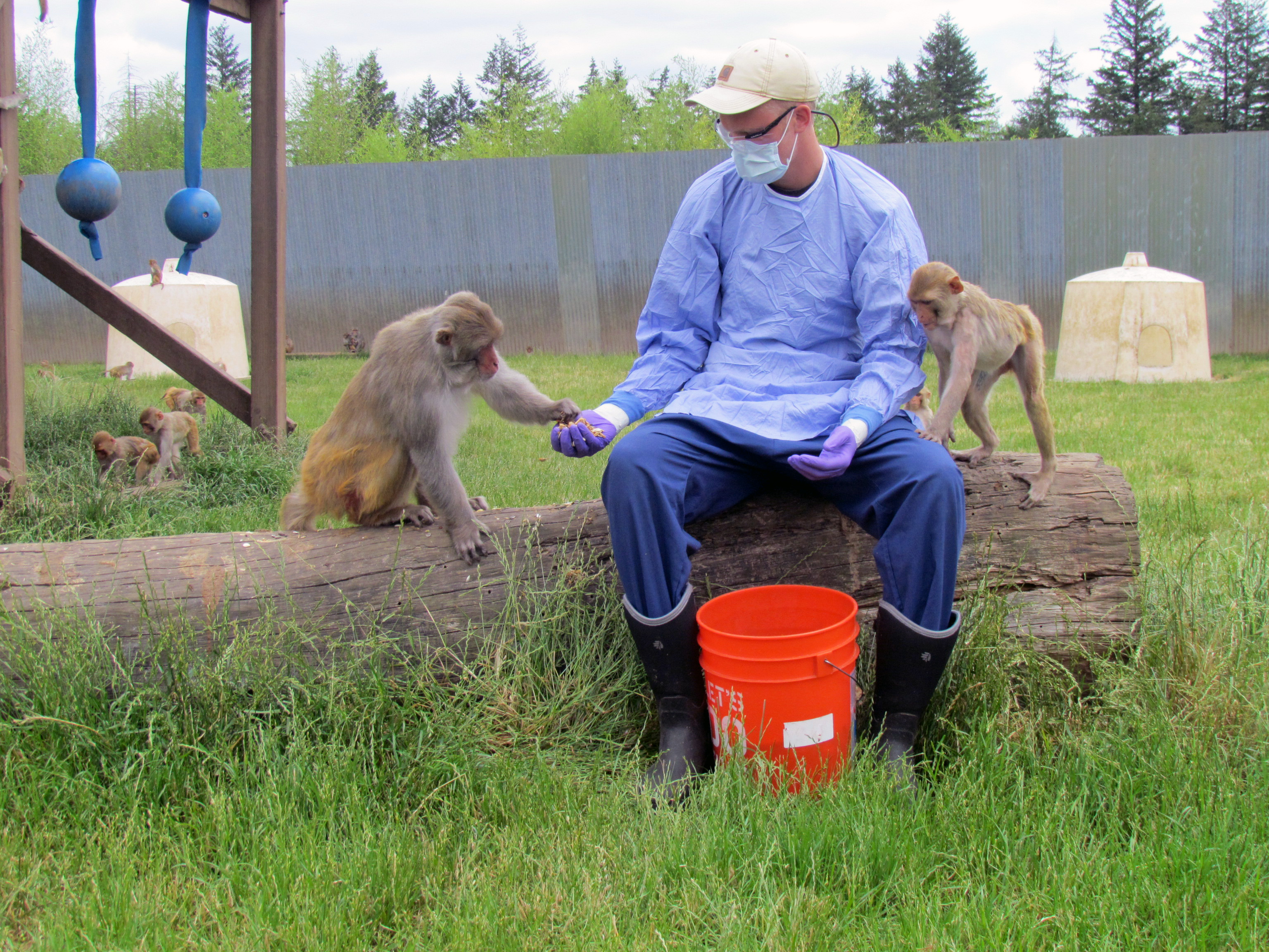 Husbandry Staff Providing Enrichment for Rhesus Monkeys