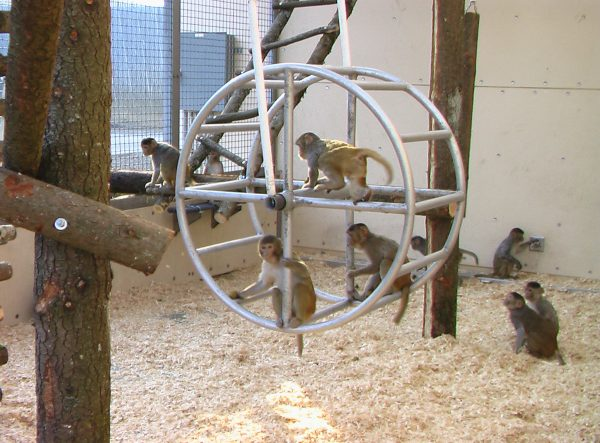 Monkey Enrichment for Indoor Housing