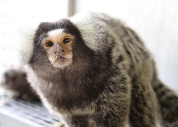 Geriatric Wing for Marmosets