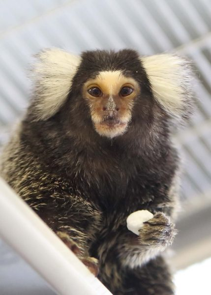 Marmosets and Marshmallows