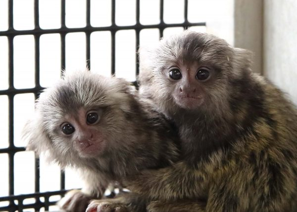Marmosets and Zika